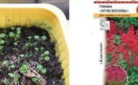 Выращиваем дома рассаду гейхеры
