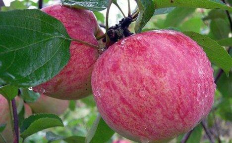 Лучшие летние сорта яблок для юга России