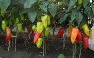 Как получить хороший урожай болгарского перца