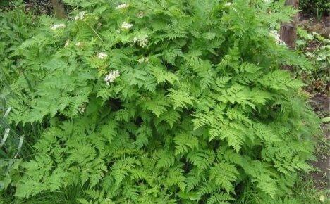Осваиваем выращивание кервеля – ароматной и неприхотливой пряности