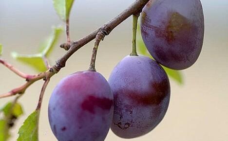 Особенности посадки, выращивания и сбора слив в своем саду — рекомендации зарубежных садоводов
