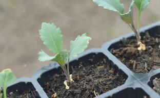 Выращивание брокколи рассадным способом или «первому игроку приготовиться»