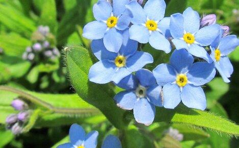Скромная незабудка лесная в компании садовых цветов
