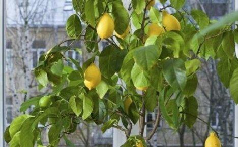 Как вырастить лимон дома — комнатные цитрусовые из саженца и косточки