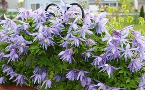 Декоративное и лечебное растение в вашем саду — княжик