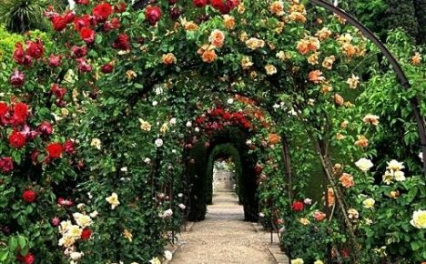 Несколько слов о посадке и уходе за вьющимися розами