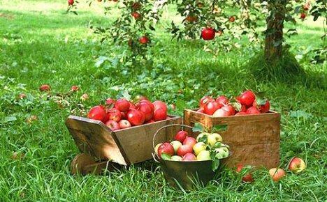 Выбираем ранние сорта яблок по фото с описанием