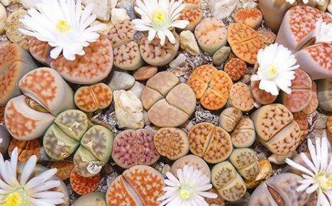 Уход и содержание «живых камней» литопсов дома