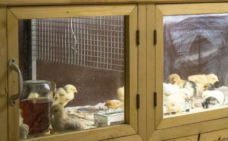 Делаем брудер для цыплят своими руками по чертежам
