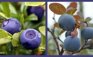 Чем отличается черника от голубики: как не ошибиться с выбором растения