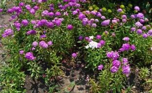 Виды и сорта ибериса для выращивания в саду