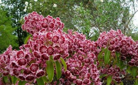 Очаровательная садовая красавица кальмия: посадка, уход и фото