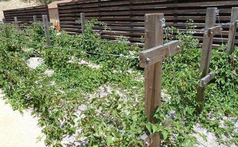 Почему шпалера необходима для выращивания ежевики
