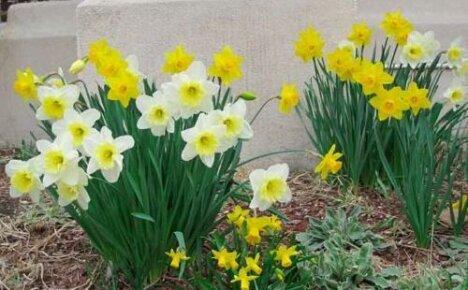 Как ухаживать за нарциссами — выращиваем весенние первоцветы в саду