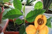 Как вырастить из косточки мушмулу — особенности посадки