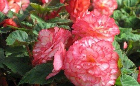 Как поливать бегонию во время цветения?