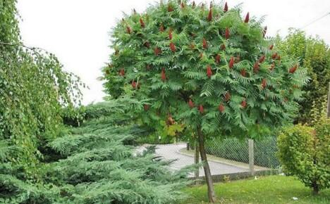 Необычное дерево сумах на дачном участке