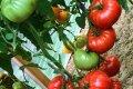 Томат Бабушкин секрет обеспечит богатый урожай каждому огороднику