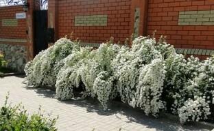 Популярные сорта неприхотливого кустарника для сада — спиреи