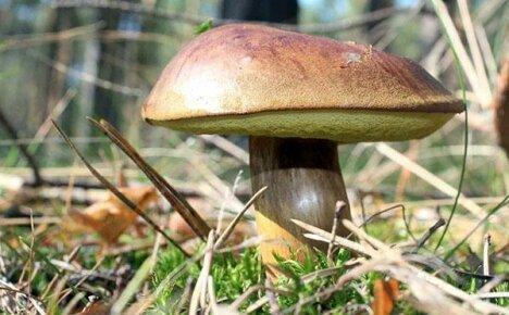Как отличить настоящие грибы моховики от ложных