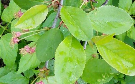 Исследуем полезные свойства листьев вишни и противопоказания для организма