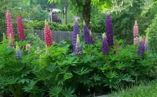 Выращивание люпина в саду: что делать, чтобы он ежегодно пышно цвел