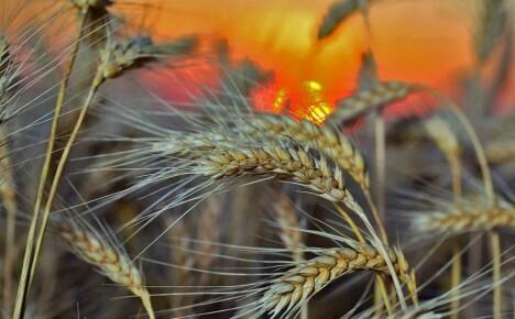 Выращивание ржи и яровой, и озимой: возможность постичь древнее ремесло предков
