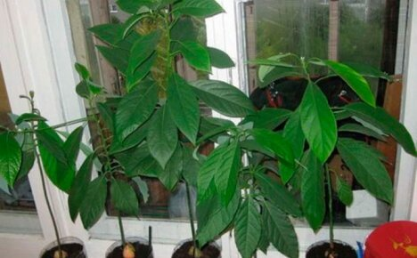 Возможно ли получить и красоту, и пользу — плодоносит ли манго, выращенное из косточки