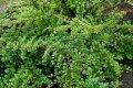 Как вырастить горизонтальный кизильник на дачном участке