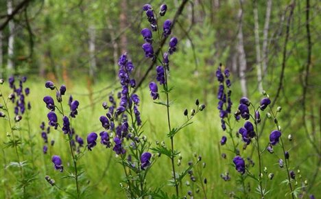 Используем лечебные свойства травы аконит для своего здоровья