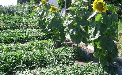 Как вырастить подсолнух на частном участке — нехитрые секреты хорошего урожая