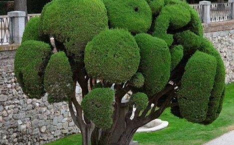 Основные виды и сорта кипариса для сада
