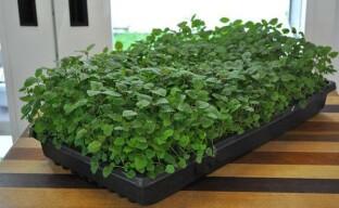 Выращивание мелиссы: от посева семян на рассаду до сбора урожая