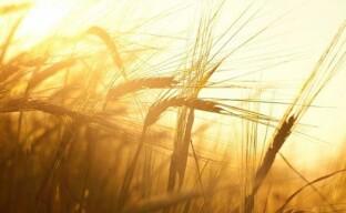 Обработка семян пшеницы перед посевом