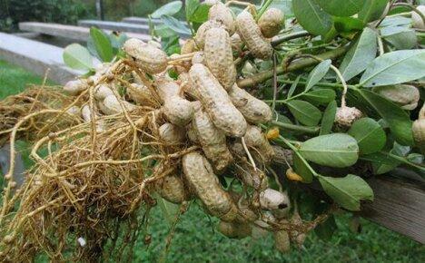 Как вырастить арахис у себя на даче