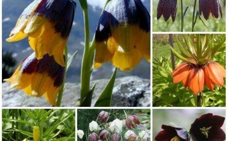 Очаровательные виды рябчика для весеннего сада