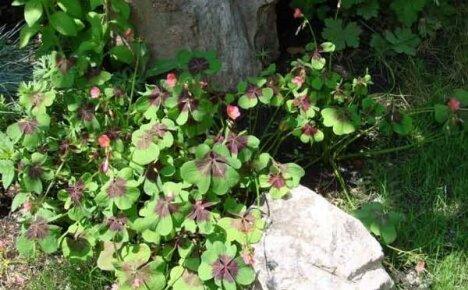 Кислица садовая: как выращивать цветок в открытом грунте