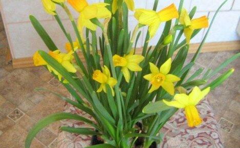 Нарциссы в горшке: как ухаживать за цветами
