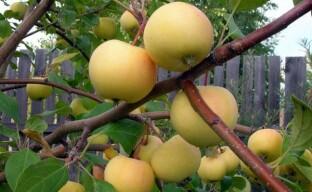 Выбираем сорта яблок для выращивания в Сибири и северных регионах России
