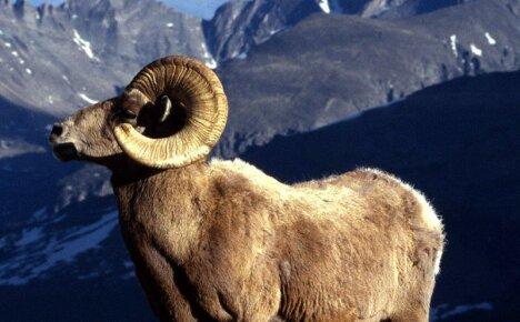 Горный баран – редкий обитатель горных вершин