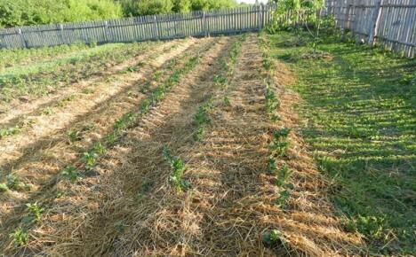 Огород для ленивых — сажаем и выращиваем картофель по траве, не вскапывая, не пропалывая