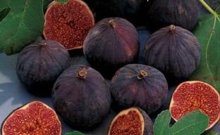 Высокоурожайный инжир Крымский черный — отличный выбор для посадки в укрывных конструкциях