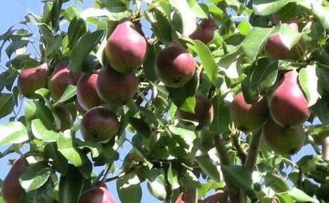 Груши для Подмосковья – сорта, которые порадуют садовода