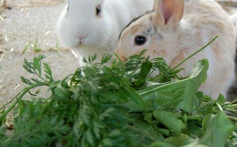 Ядовитые растения для кроликов – как не ошибиться с выбором зеленого корма