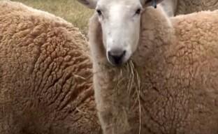 Особенности овцеводства в Австралии