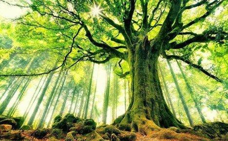 Украшение леса – величественное дерево бук