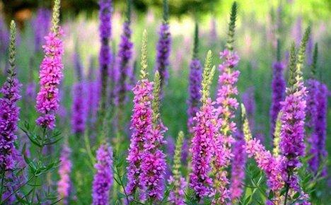 Лечебные свойства дербенника: кому поможет плакун-трава