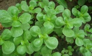Портулак овощной – съедобный сорняк на ваших грядках