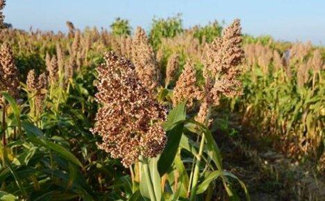 Когда сеять сорго для веников: нюансы выращивания веничной культуры