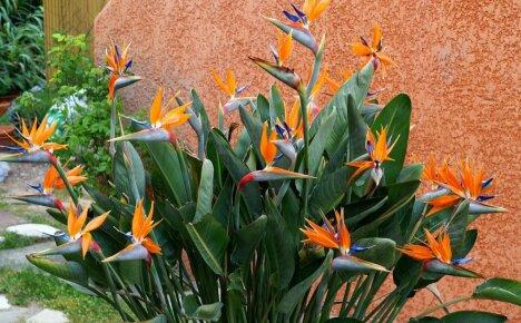 Описание видов декоративного растения стрелиции